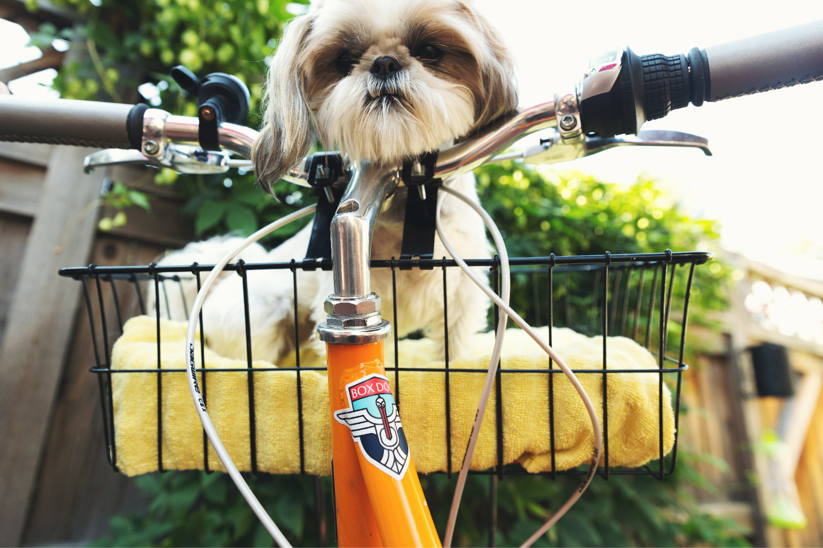 Small Lhasa Apso dog sitting in front of the handles in a bike basket.